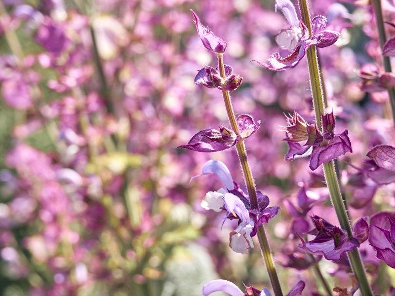 Blooming salvia sclarea in the garden.